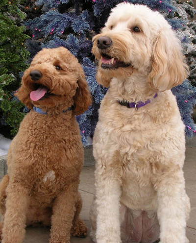 mini goldendoodle vs mini labradoodle - which is right for you