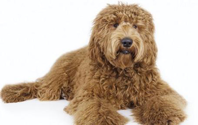 labradoodle-allergy-dog