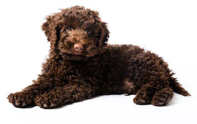 Why Are Labradoodles Popular with Allergy Suffers?