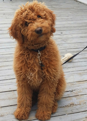 miniature-goldendoodle