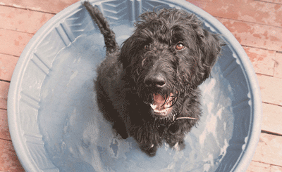 labradoodle-ways-to-cool-down-on-hot-day