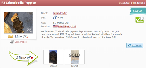 labradoodle-puppy-advertisement