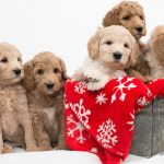 price-of-labradoodle