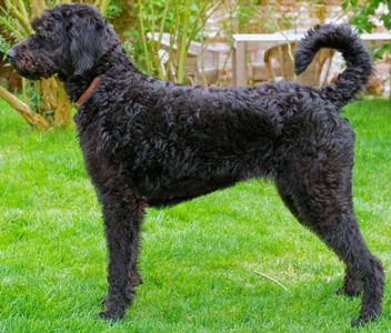 black-labradoodle-adult-2