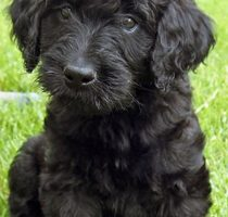 Labradoodle Colors – A Complete Guide to Every Labradoodle Shade