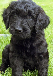black-labradoodle-adult