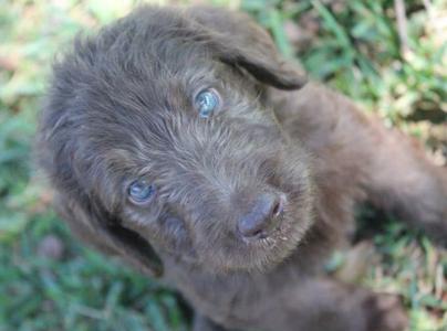 blue-grey-labradoodle-puppy