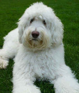 Labradoodle Colors A Complete Guide To Every Labradoodle