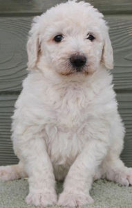 chalk-white-labradoodle-puppy