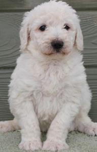 chalk-white-labradoodle-puppy