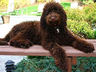 chocolate-labradoodle-adult