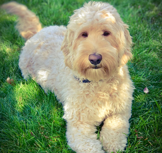 golden-labradoodle-adult