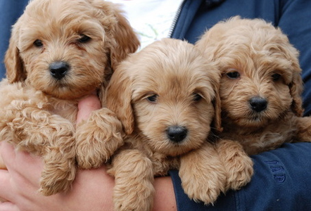 golden-labradoodle-puppy