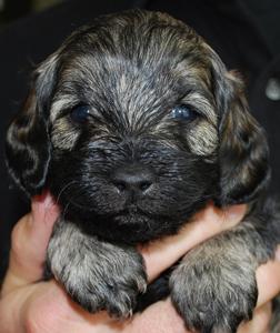 multi-colored-labradoodle-puppy