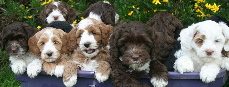 multiple-colored-labradoodle-puppies