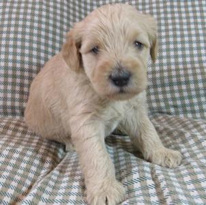 parchment-labradoodle-puppy
