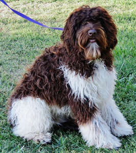 parti-colored-labradoodle-adult