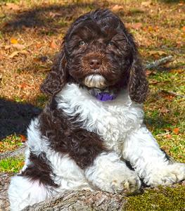 parti-labradoodle-puppy
