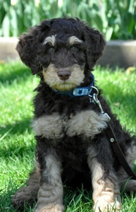 phantom-labradoodle-puppy