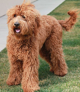 red-labradoodle-adult