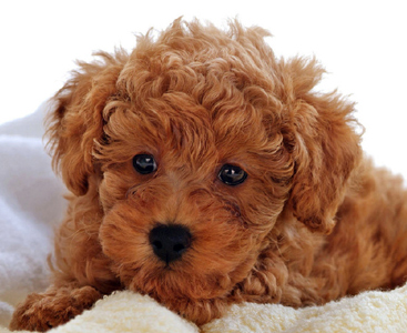 red-labradoodle-puppy