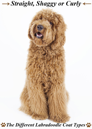 different-labradoodle-coat-types