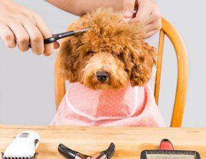 grooming-labradoodle-coat