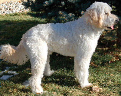 labradoodle-fleece-coat-type