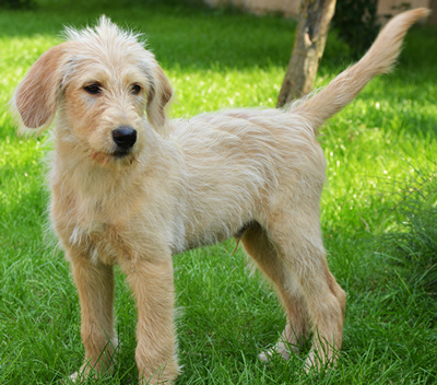 labradoodle-hair-coat-type