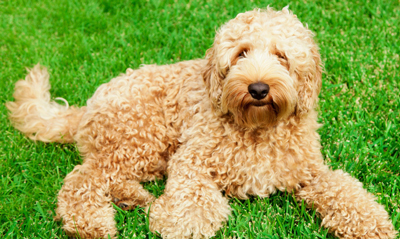 labradoodle-wool-coat-type