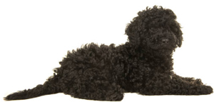 black-labradoodle-puppy