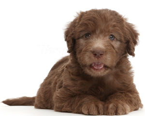 chocolate-labradoodle-puppy