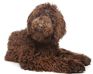 fur-related-labradoodle-names
