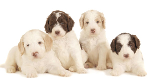 multi-colored-labradoodle-names