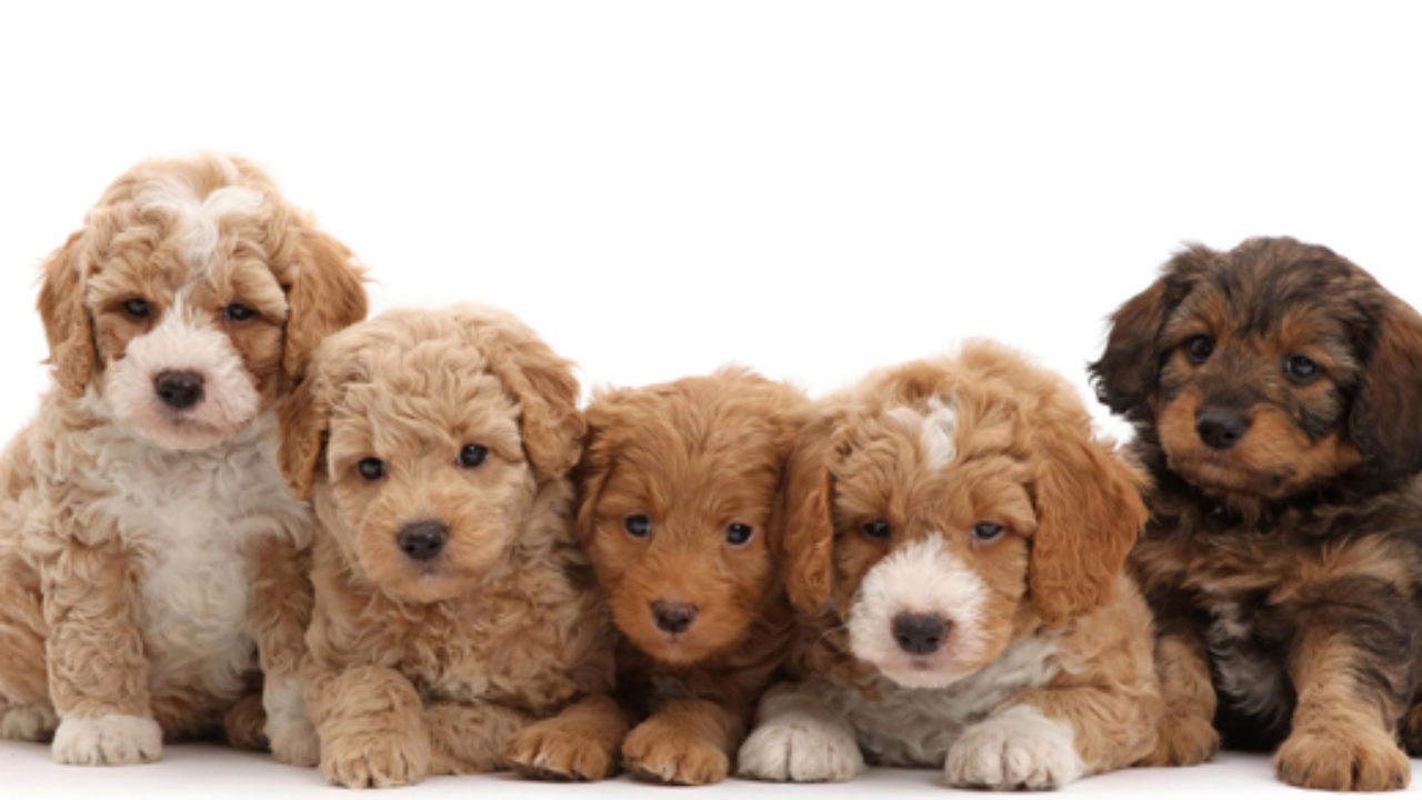 Labradoodle Names A Collection Of The Most Adorable Names For Your Doodle Labradoodles Dogs