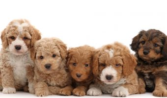 Labradoodle Names – A Collection of the Most Adorable Names for Your Doodle