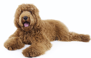 popular-labradoodle-names