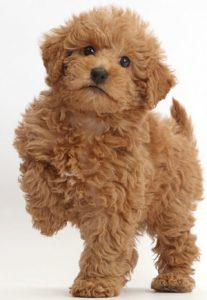 red-labradoodle-names