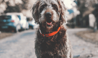 Labradoodle Lifespan – How Long Does a Labradoodle Live?