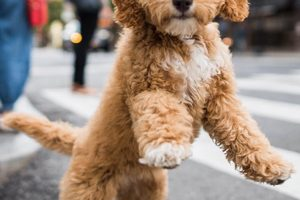 miniature-labradoodle-breed
