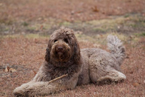 labradoodle-chocolate-1