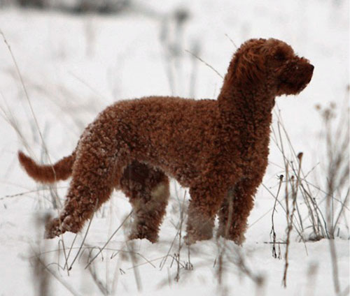 labradoodle-chocolate-11