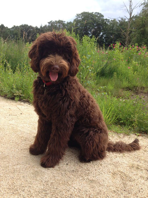 labradoodle-chocolate-16