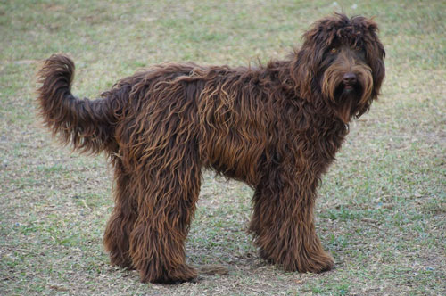 labradoodle-chocolate-17