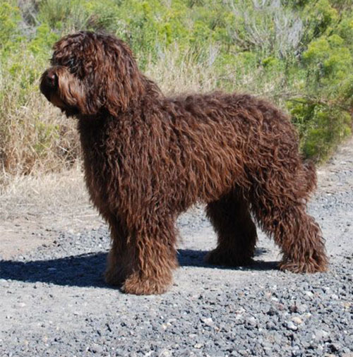 labradoodle-chocolate-18