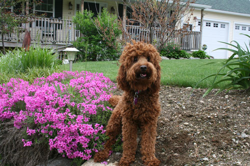 labradoodle-chocolate-2