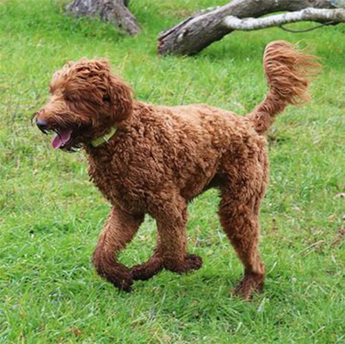 labradoodle-chocolate-6
