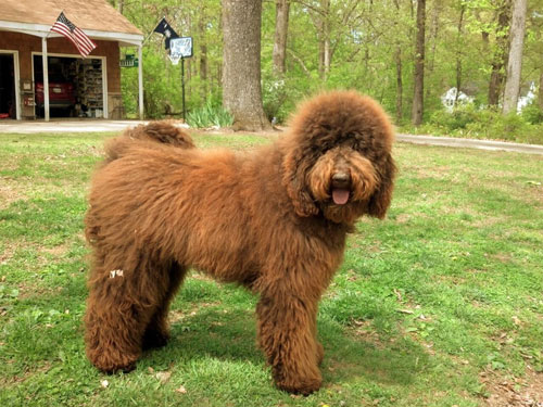 labradoodle-chocolate-7