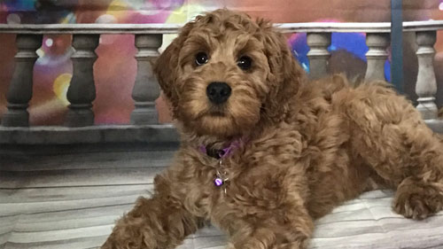 labradoodle-chocolate-8