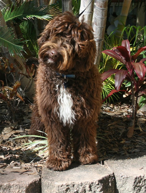labradoodle-chocolate-9